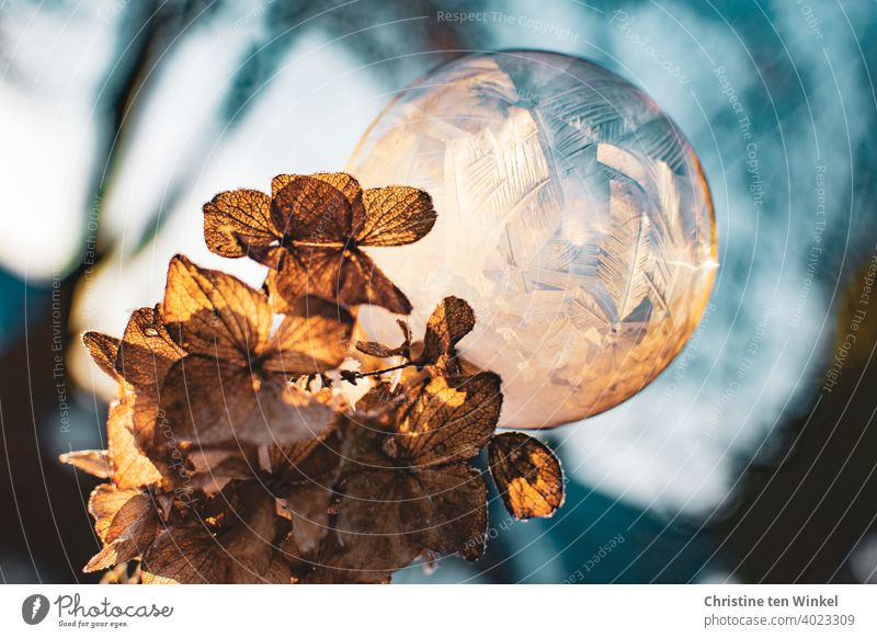 A frozen soap bubble sits on a dried and frozen light brown hydrangea flower. Both are illuminated by the low sun. Soap bubble Winter severe frost Frost Cold