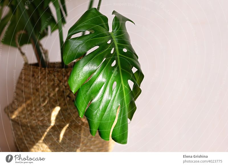 Beautiful monstera plant for home decoration. Tropical plants in indoor floriculture. Close-up. basket tropical house leaf houseplant tree trendy scandinavian