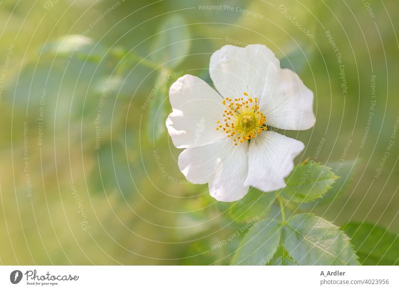 White flower of a rosehip - wild rose (Rosa rugosa) or also called dog rose flowers macro Macro photography plants Dog rose rose hip Blossom petals Green bokeh