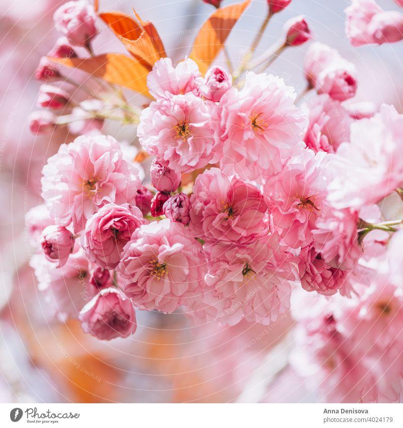 Sakura flowers in bloom sakura tree cherry blossom sky blue pink spring japan nature park season white natural plant garden petal blooming beauty fresh floral