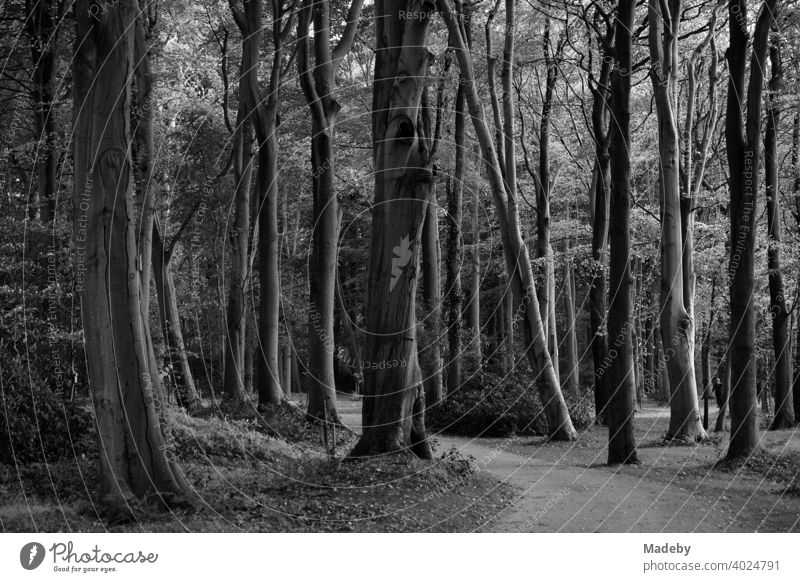 Ancient trees form a dark forest in the Lütetsburg castle park near Norden in East Frisia, photographed in neo-realistic black and white black-and-white