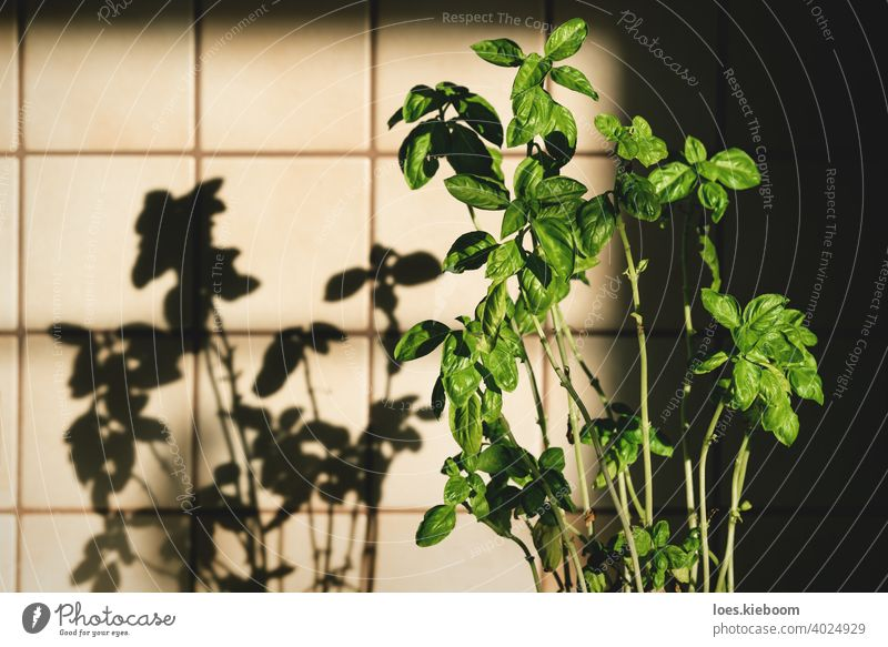 Fresh basil plant in vintage kitchen with tiles sunlit with shadows retro food ingredient house cooking leaf green herb natural fresh organic old aromatic spice