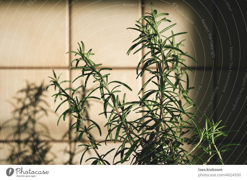 Fresh rosemary plant in vintage kitchen with tiles sunlit with shadows retro food ingredient house cooking leaf green herb natural fresh organic old aromatic