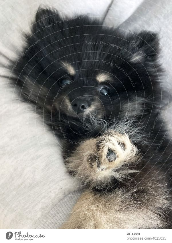 Pomeranian puppy Dog Puppy Puppy dog Paw Pelt peak Black Gray Beige Pygmy Spitz Looking into the camera direct look Animal Pet 1 Colour photo Animal portrait