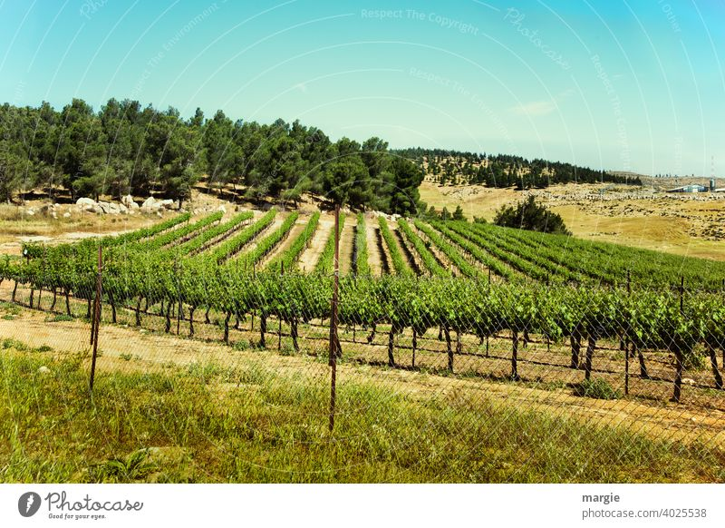 A vineyard with mountains and forest Vineyard Exterior shot Bunch of grapes Deserted Agricultural crop Green Day Plant Nature Summer Field Grape harvest