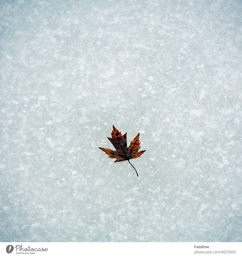 A maple leaf frozen in the stream Winter Ice Ice sheet Aggregate state Cold icily Frozen Frost Nature White Exterior shot Deserted Day Water Subdued colour