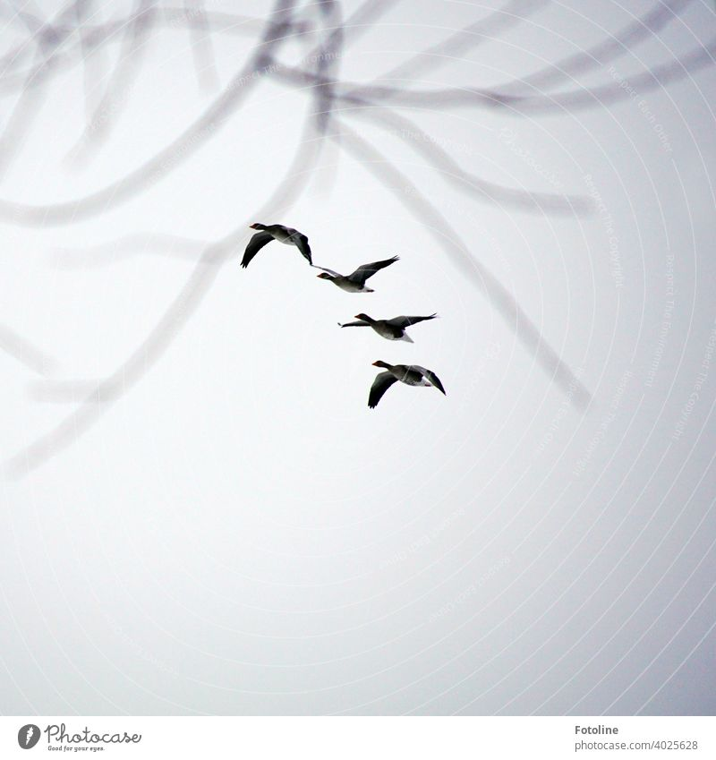 Everything that flies III - Geese fly in a row Flying Nature Sky Bird Exterior shot Wild animal Colour photo Animal Deserted Migratory bird Autumn Flock