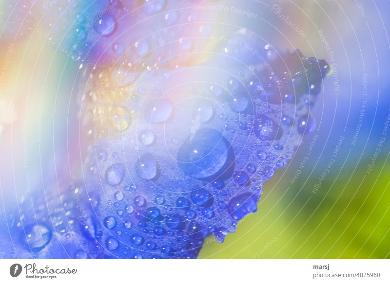 Refreshing water drops on gentian petal with veiled rainbow colored area Drops of water Gentian refreshingly invigorating Blue gentian blue Plant Wild plant