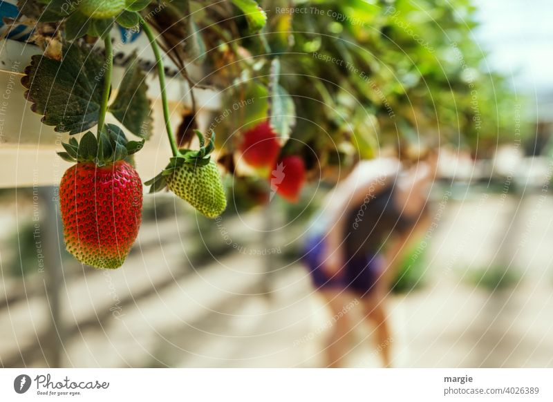Strawberry growing in planting troughs, the fruit literally grows into your mouth! Close-up Nutrition Fruit Vegetarian diet Colour photo Healthy Eating