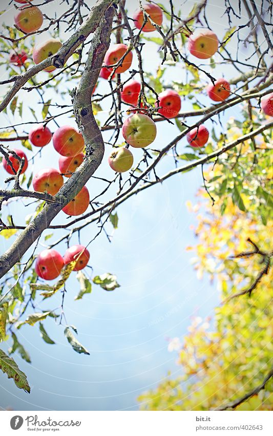 apples Food Fruit Apple Nutrition Organic produce Vegetarian diet Environment Plant Air Cloudless sky Summer Autumn Climate Beautiful weather Tree Garden Field
