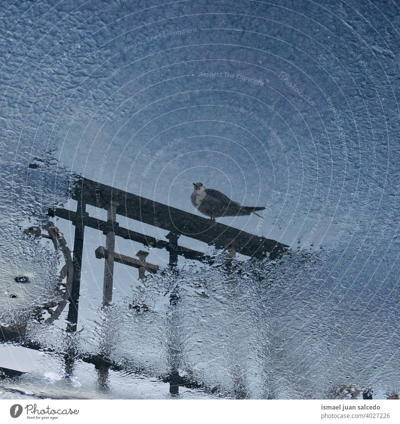 pigeon reflected on the puddle dove bird animal feathers beak wings park street outdoors nature wild wildlife Reflection Water Silhouette plumage