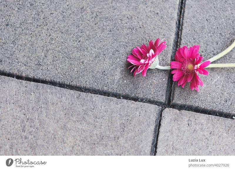 two lost gerbera flowers glow pink on grey asphalt slabs Asphalt Sidewalk Street Gray urban Town Doomed Forget Flower Blossom blossoms Gerbera Gerbera Blossom