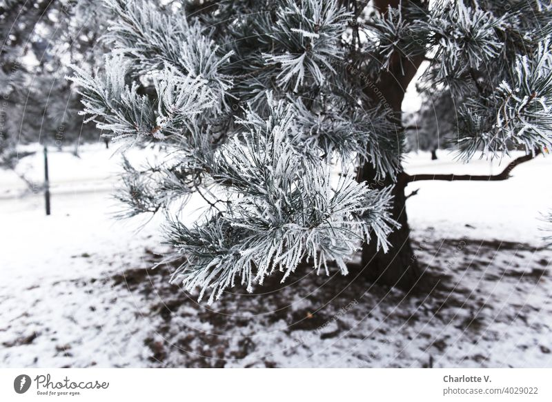hoarfrost Coniferous trees conifer branch Tree Nature Twig Hoar frost Branch Cold White Ice crystal Exterior shot Frozen Plant Snow Frost Winter Winter mood