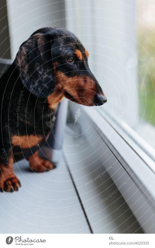 carlson Dachshund Dog Animal Animal portrait Love of animals Pet Cute Flat (apartment) Window at home Animal face Shallow depth of field Curiosity