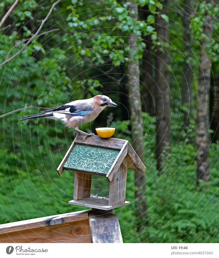 Hungry jay patiently waiting for his lunch. Jay Birdseed Chuck House Edge of the forest eyeball to eyeball hunger patience smilingly Garden Garrulus glandarius