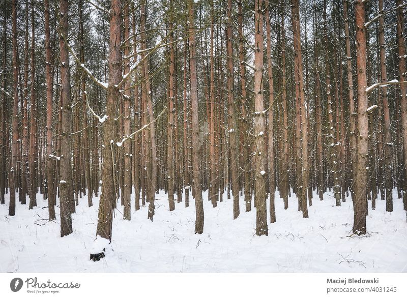 Picture of a deep forest in snowy winter. tree nature white scenery season no people wilderness photo view