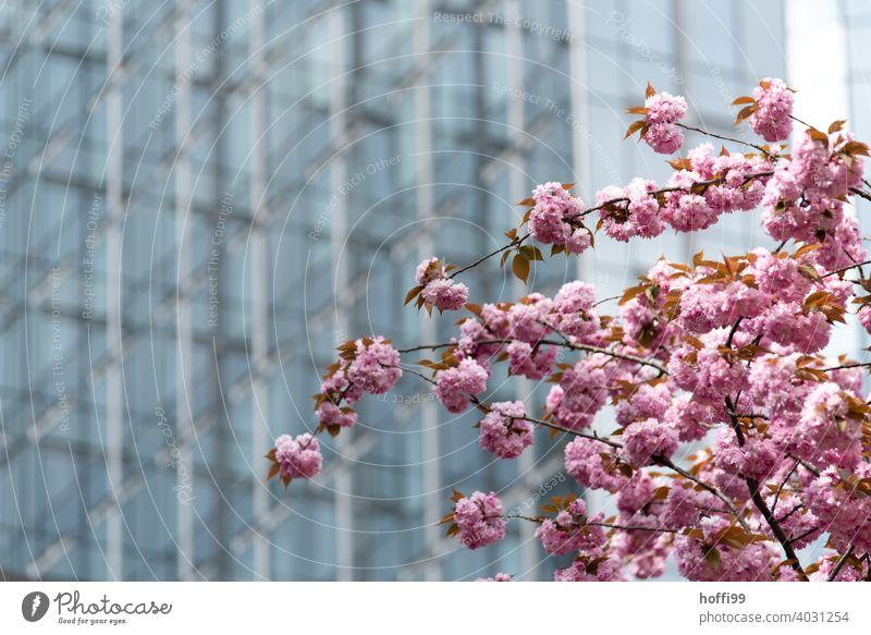 Cherry blossom in front of glass facade - spring in the city Spring Cherry tree Pink Blossoming Glas facade architectural photography transparent