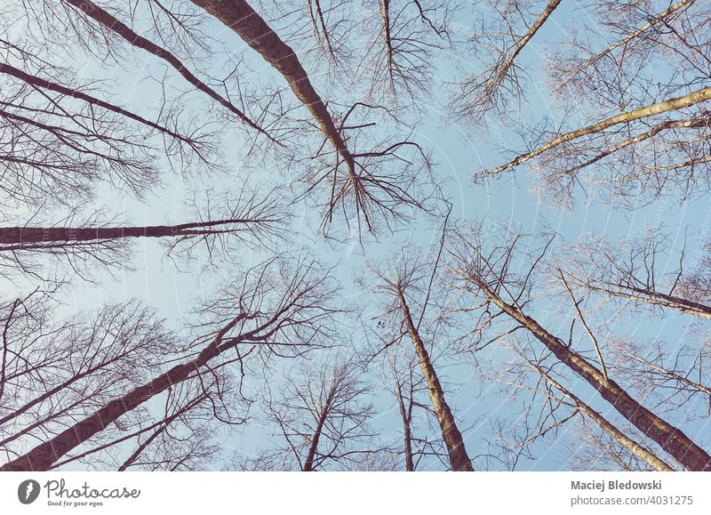 Looking up at leafless trees, color toned nature abstract background. forest look up instagram effect sky woods no people retro vintage photo view environment