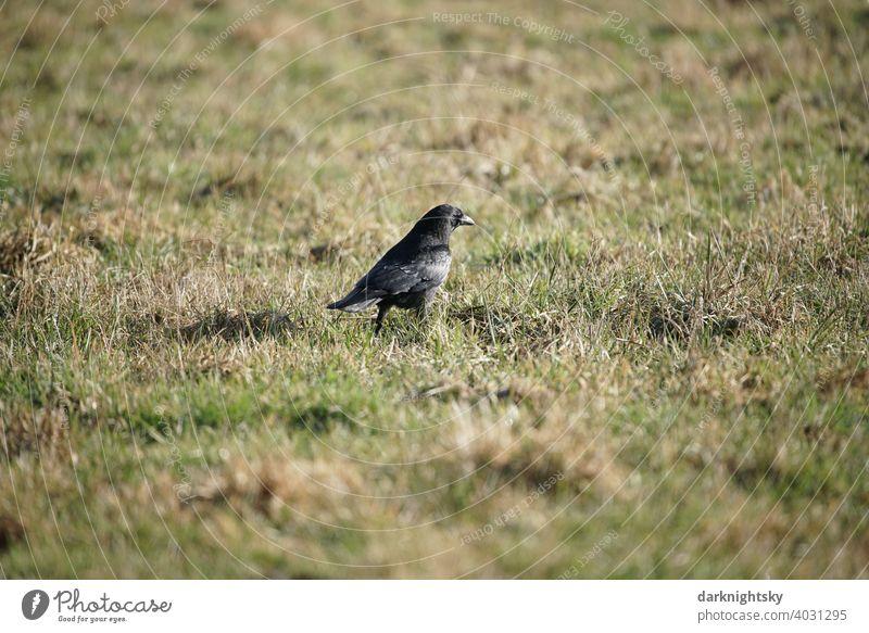 Crow (Corvus) in a pasture and foraging in the sunshine Corvidae raven Nature Sky Beak Raven birds Dark Grand piano Ornithology Bird Animal Black animal world