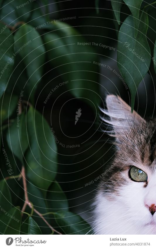 Cat with lynx ear and very green eye cut, behind dark green foliage hangover Long-haired Longhaired cat Pet Animal Pelt Domestic cat Looking Observe Cuddly