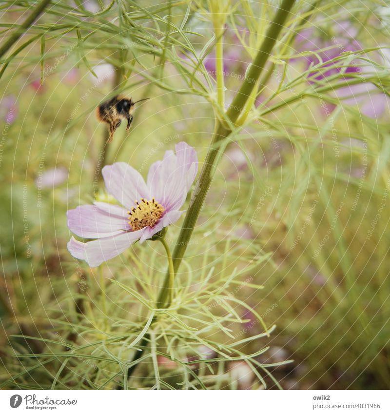 Pale flower Cosmos Joie de vivre (Vitality) Growth Spring fever Enthusiasm Life Curiosity Idyll Long shot Force Colour photo Garden Meadow Flower meadow