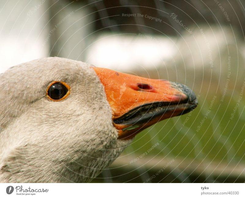 Bird Beak Goose Poultry Guard Food Gray lag goose