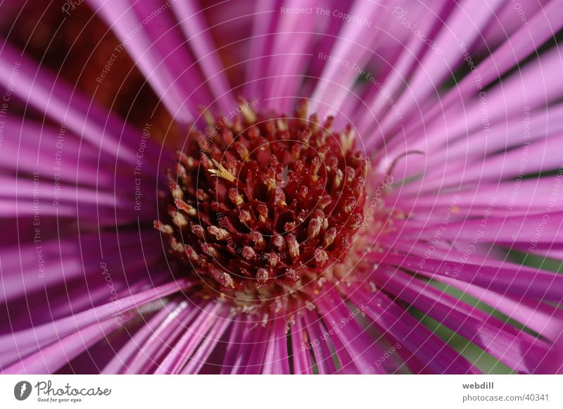 aster Aster Autumn Flower Pink Violet Macro (Extreme close-up) palm garden