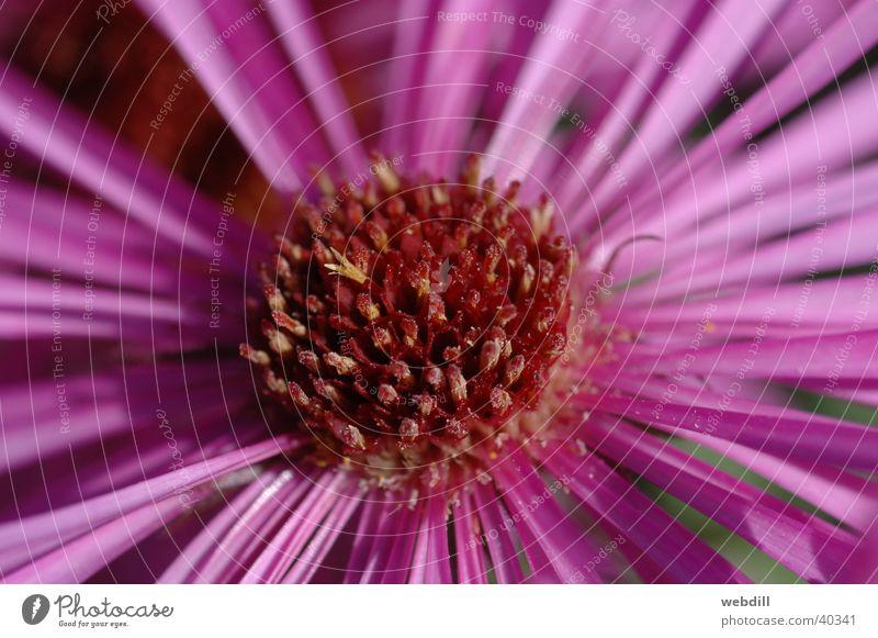 Flower Autumn Pink Violet Aster
