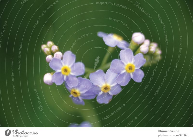 Swamp forget-me-not Flower Blossom Marsh May Spring Blue background green Elbe
