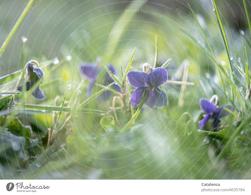 The violets are still covered with a frosty breeze early in the morning Nature flora Plant Flower Violet plants Grass blossoms Frost Ice chill Garden Morning