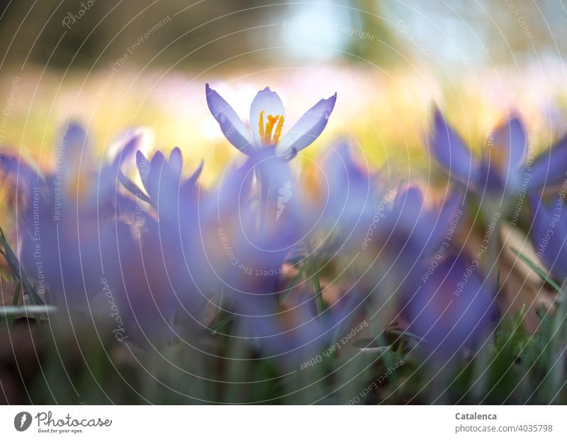 Crocuses on a sunny spring day Nature wax Green Violet purple daylight Day Spring Garden blossom blossoms Grass Flower Plant flora Blossom leave Sky Orange fade