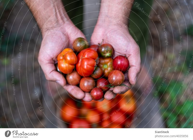 Fresh small, red tomatoes in farmer hands, top view garden gardening healthy food green harvest organic agriculture summer plant basket fresh natural ripe