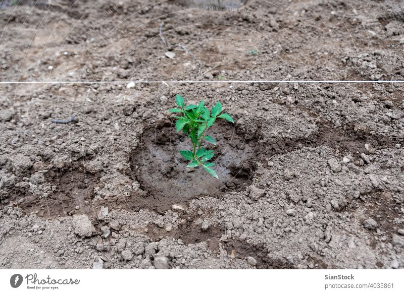 Tomato plant grows on the garden. fresh growth leaf tomato nature sprout green agriculture soil farm spring ground light tree new season sapling root ecology