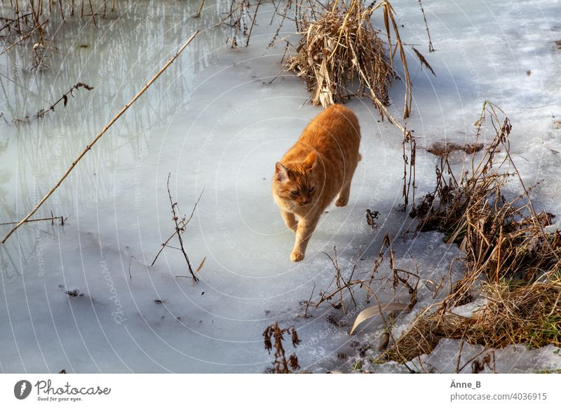 Red hangover on ice Cat Red-haired Pelt Coat color White Beige undergrowth Water Frozen surface Animal portrait Pet Domestic cat Observe Curiosity Looking