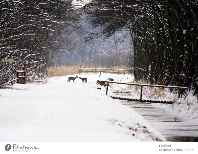 Snowed in are paths, streams, bridges and forests. A pack of deer is looking for food and water. winter landscape Winter White Cold Nature Landscape Snowscape