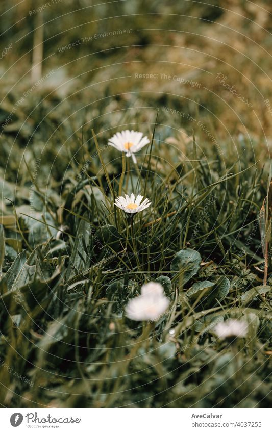 A blooming daisy in the middle of the grass during spring background plant nature flower blossom beauty season beautiful petal fresh natural garden floral white