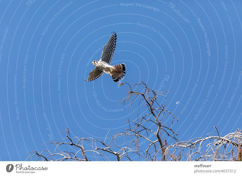 Flying female Southeastern American Kestrel falco sparverius paulus, with wings spread American kestrel falcon Falco sparverius Falco sparverius paulus bird