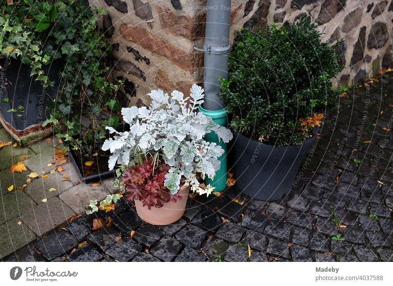 Flower pots with ornamental plants in the courtyard of Gleiberg Castle in Wettenberg Krofdorf-Gleiberg near Gießen in Hesse Plant Flowerpot Ornamental plant