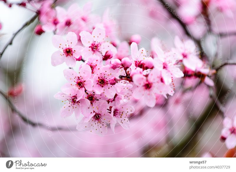 close up of a branch pink flowers of japanese ornamental cherry herald spring Ornamental cherry Japanese ornamental cherry Blossom Spring Pink Cherry blossom