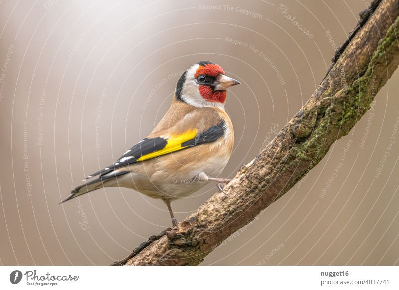 Goldfinch / Goldfinch on branch goldfinch Animal Colour photo 1 Exterior shot Nature Wild animal Deserted Day Environment naturally Bird Animal portrait