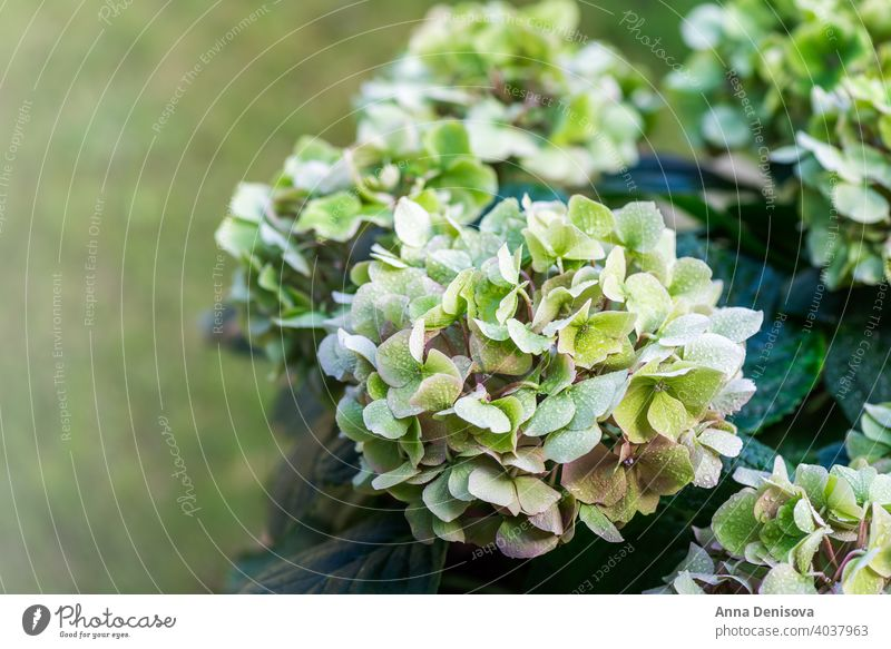 Green Hydrangea Flowers in the Garden hydrangea leaf hortensia flower plant bush August July bloom blossom blue card celebration closeup colorful england flora