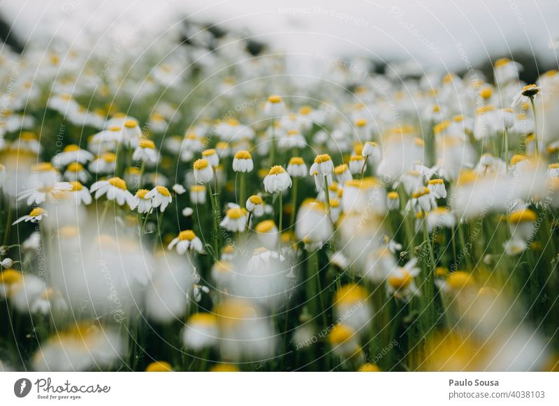 Wild daisies field Daisy Daisy Family Flower meadow Spring Spring fever Fragile Floral Blossom leave background Blossoming Nature Plant Garden Summer White