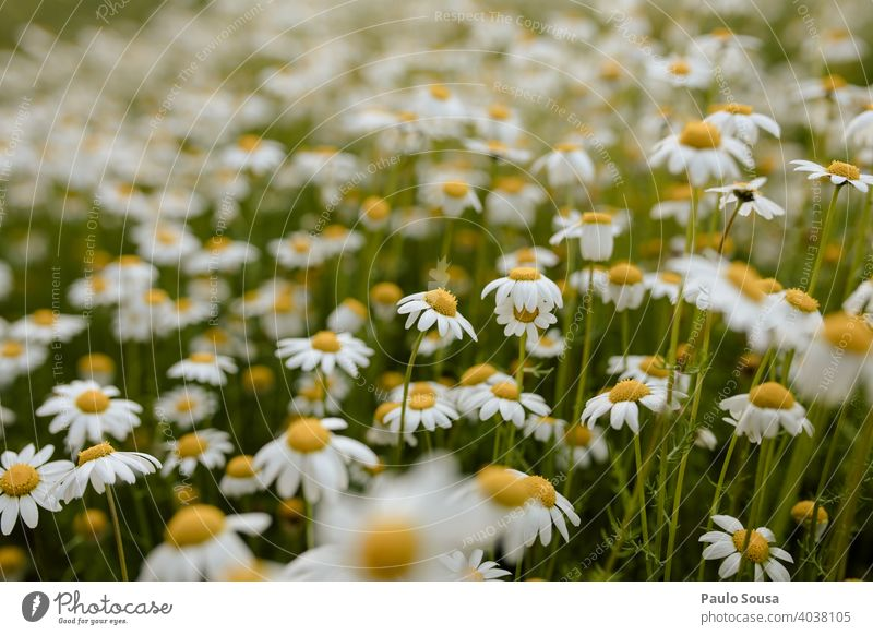 Wild daisies field Daisy Daisy Family daisy meadow Spring Spring fever Spring flower Decoration Blossom leave Meadow Fragile Summer Flower Nature Plant Floral