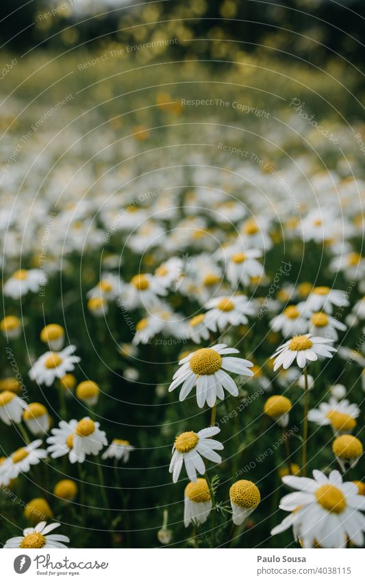 Wild daisies field Close-up Daisy Daisy Family Spring Spring fever Spring flower Blossom Blossoming Blossom leave Plant Summer Flower Nature Floral Fresh