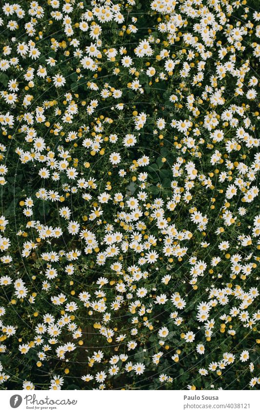 Wild daisies background Daisy Daisy Family marguerites daisy meadow Spring Spring fever Spring flower Spring flowering plant view from above Bird's-eye view Day