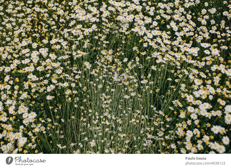 Wild daisies field Daisy Spring Spring fever view from above Deserted Blossoming Meadow Plant Exterior shot Grass Flower Nature Colour photo Close-up Day White