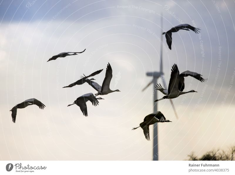A flock of cranes flies in the state of Brandenburg. In the background is a large wind turbine. birds Cranes Flock Barnim Germany Wind energy plant Nature Sky
