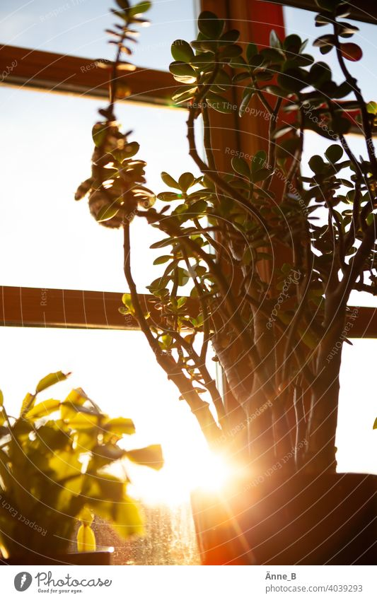 Money tree in front of a window in the sunshine Sunlight Sunset money tree pfennig tree Crassula ovata thickleaf plants Succulent plants succulent Plant Light