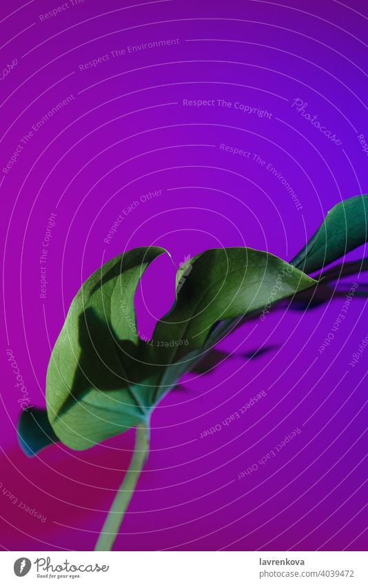 Abstract picture of monstera deliciosa leaf in neon lightning Split Leaf Philodendron plant indoor fresh jungle exotic interior botany nature green texture