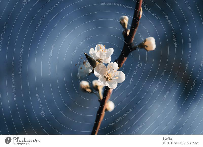 Cherry blossom against dark blue sky cherry blossom spring awakening flowering cherry Anticipation Spring Flowering all is bloom New start Renewal